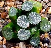 대길실생만상 81-27|Haworthia maughanii
