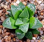 수금(무지자구) 81-33|Haworthia retusa