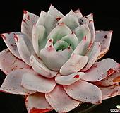 콜로라타hy2|Echeveria colorata