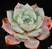 콜로라타hy5|Echeveria colorata