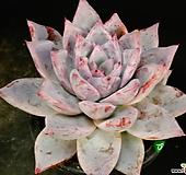 콜로라타82|Echeveria colorata