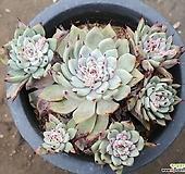 원종자라고사   0122 Echeveria mexensis Zaragosa