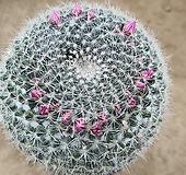 옹옥 선인장01221 Haworthia truncata