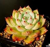 원종코로라타(중대) 31-137|Echeveria colorata