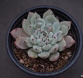 원종자라고사 56 Echeveria mexensis Zaragosa