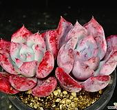 원종콜로라타두몸64|Echeveria colorata