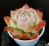 뉴콜로라타 31-376|Echeveria colorata