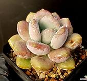코로라타*월미인(얼큰이) 32-158|Echeveria colorata