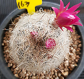 은옹옥선인장 실생 Haworthia truncata