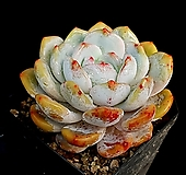 오렌지먼로(중) 32-199|Echeveria Monroe(Orange)