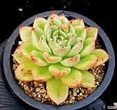 오렌지에보니*자라고사교배종 33-72 Echeveria mexensis Zaragosa