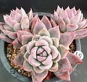 야생콜로라타 군생|Echeveria colorata