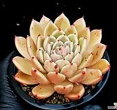 에보니*자라고사교배종(중대) 33-221 Echeveria mexensis Zaragosa