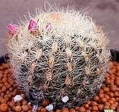 은옹옥선인장  가시사이로수줍게꽃을밀어올리네요  수입들어온고급종입니다  127 Haworthia truncata