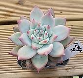 원종콜로라타|Echeveria colorata