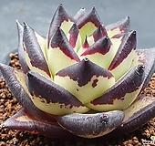 환엽 까망이 슈퍼클론251(뿌리무)|
