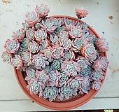 라즈베리아이스대품 묵은둥이|Echeveria Rasberry Ice