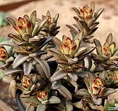 적토이 대품|Kalanchoe tomentosa nigromarginatas