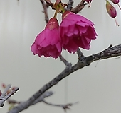 (단품)한비앵/히칸사쿠라 대품|
