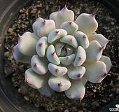 검은발톱자라고사   02361 Echeveria mexensis Zaragosa