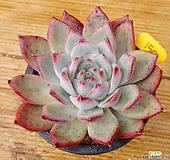 콜로라타빈|Echeveria colorata