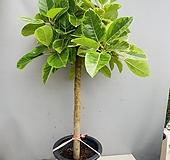 뱅갈고무나무 (목대굵고 수형이쁜 특특대품) 동일품배송|Ficus elastica