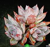 콜로라타70|Echeveria colorata