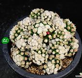 눈꽃선인장72 Mammillaria gracilis cv.