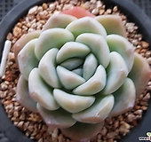 짱짱한 아이시그린|Echeveria Ice green