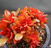 파시쿨라타철화 0125-2077 Echeveria fasciculate