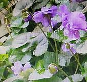 샤넬향제비꽃.,묵은주 