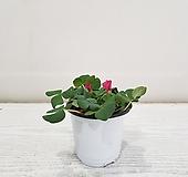 참사랑초/공기정화식물/반려식물/온누리 꽃농원|