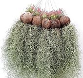 싱싱 생생 풍성한 틸란드시아 틸란 이오난사 공기정화식물 공중식물 행잉플랜트 에어플랜트 미세먼지|