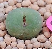 야생파가에코노피튬|Conophytum