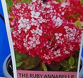 루비아나벨수국 Hydrangea macrophylla