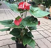 안시리움 키우기편한 공기정화식물 관엽식물|