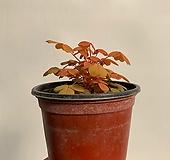 옥살리스 사랑초 (쿠퍼글로우 오렌지)|