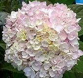 정원수국 엔들레스썸머 블러싱브라이드 2리터포트 Hydrangea macrophylla
