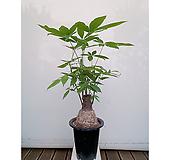 파키라(검정포트) 화초 초보자식물 