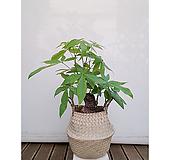 파키라+해초라탄바구니세트 감성식물 