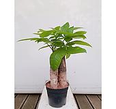 파키라(삼식이)(포트) 화초 인테리어 초보자식물 