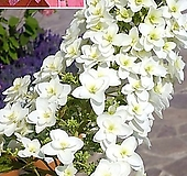 겹떡갈잎 수국-1주 Hydrangea macrophylla