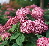 루비 아나벨 수국-1주 Hydrangea macrophylla
