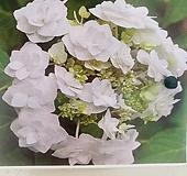 댄싱스노우 수국 Hydrangea macrophylla