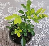 오렌지 자스민(S) 2020 새상품/공기정화식물|