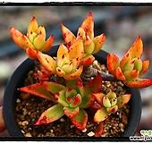긴잎적성(묵은둥이,합식)|Echeveria agavoides Akaihosi