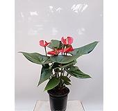 안스리움 포트 화초 포트 초보자식물|Anthurium andraeaeanum