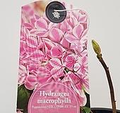 수입목수국#2(Hydrangea macrophylla Peppermint) Hydrangea macrophylla