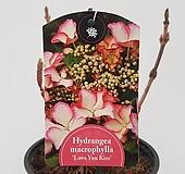 수입목수국#5(Hydrangea macrophylla Love You Kiss) Hydrangea macrophylla