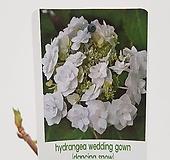 수입목수국#9(Hydrangea wedding gown) Hydrangea macrophylla